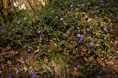 stock photo of small-flower  - Groundcover plant with many small blue flowers - JPG