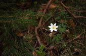 picture of windflowers  - White flowering anemone nemorosa on forest ground - JPG