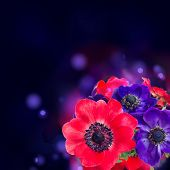 stock photo of windflowers  - blue and red anemone flowers isolated on white background - JPG