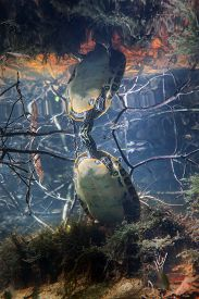 foto of cooter  - A Peninsula Cooter Turtle standing up in shallow water putting its nose out of the water breathing air on the surface with its body reflecting on the underside of the water surface - JPG