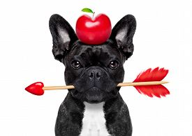 picture of cupid  - valentines french bulldog dog in love holding a cupids arrow with mouth apple in heart shape on the head isolated on white background - JPG