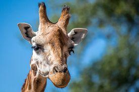 stock photo of zoo  - Giraffe Pictured again blue summer sky in Chester Zoo uk - JPG