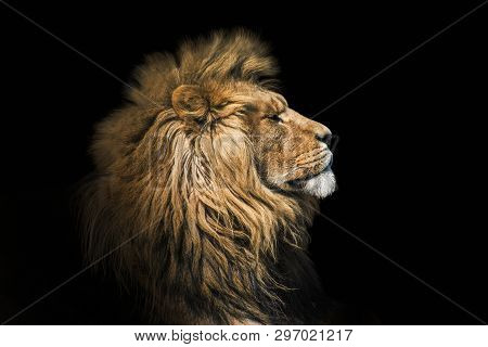 poster of Portrait Lion On The Black. Detail Face Lion. Hight Quality Portrait Lion. Portrait From Animal