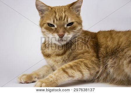 poster of Red Cat Looks Into The Camera. Pictures Of Cats, Cute Cat, Cat Drawings, Cat Drawings Against A Whit