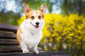 Happy Purebred Welsh Corgi Dog  Sitting On A Wooden Bench In A Blooming Beautiful Colorful Trees In  poster