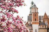 Beautiful Purple Magnolia Flowers In The Spring Season In Poland. The Wawel Royal Castle. Historic C poster