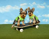 foto of jock  - Two yorkshire Terrier puppies play on a skateboard together - JPG