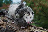 Opossum (didelphimorphia) Carrying Joeys Steps Forward Summer - Captive Animals poster