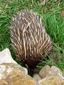picture of ant-eater  - echidna getting food - JPG