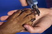 picture of nail-cutter  - close up of cutting dog nail with specialty tool on blue background - JPG