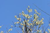 Flowering Bush Of Pussy-willow In The Spring Forest poster