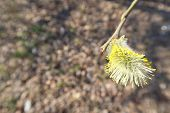 Pussy Willow Close Up Branch With Fluffy Buds Blossoming In Early Spring poster