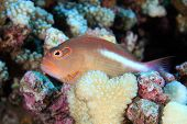 picture of hawkfish  - Arc - JPG