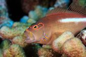 stock photo of hawkfish  - Arc - JPG