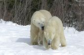 picture of mating bears  - the huge 24 year old male was trying to mate with the 6 year old female - JPG