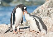 Adult Gentoo Penguin Feeding Chick.