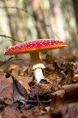 picture of soma  - Fly agaric in autumn forest - JPG