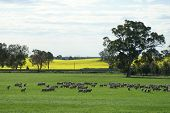 picture of the lost sheep  - This photograph was taken in Southern New South Wales Australia in early spring - JPG