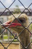 stock photo of feeling stupid  - Beautiful funny ostrich close - JPG