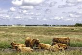 Herd Of Hereford Cows Resting In Meadow