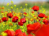 stock photo of red back  - red poppy and wild flowers - JPG