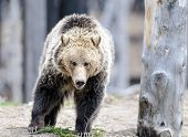 picture of omnivore  - Grizzly bear walks through forest in Yellowstone National Park