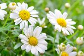 pic of chamomile  - Green grass and chamomiles in the nature - JPG