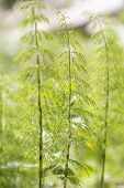 image of horsetail  - Wood horsetail  - JPG