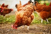 foto of laying eggs  - Traditional free range poultry farming - JPG
