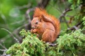 stock photo of juniper-tree  - Red squirrel  - JPG