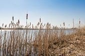 stock photo of cattail  - River banks with blooming stems of Broadleaf Cattail or Typha latifolia - JPG