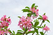 picture of desert-rose  - Panicle of pink Desert Rose in overcast day - JPG