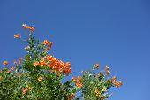 pic of honeysuckle  - Flowering Cape Honeysuckle shrub on blue sky background - JPG