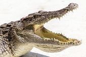 stock photo of crocodiles  - Wildlife crocodile open mouth at crocodile farm - JPG