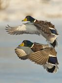 picture of male mallard  - A pair of Mallard Ducks in flight ** Note: Shallow depth of field ** Note: Visible grain at 100%, best at smaller sizes - JPG
