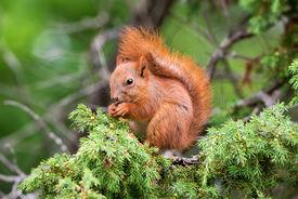 stock photo of juniper-tree  - Red squirrel  - JPG