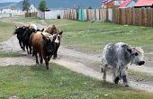 stock photo of yaks  - Yaks and cows graze and roam free in the Mongolian town of Khatgal - JPG