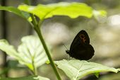stock photo of gatekeeper  - Gatekeeper butterfly under a green leaf on a sunny morning - JPG