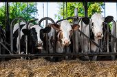 stock photo of dairy barn  - cows in a farm - JPG