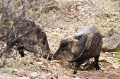 image of javelina  - Two javelinas touching noses in the desert - JPG