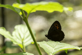 pic of gatekeeper  - Gatekeeper butterfly under a green leaf on a sunny morning - JPG