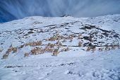 stock photo of alpaca  - Herd of domestic alpacas on snow in high altitudes in peruvian Andes south America - JPG