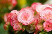 pic of begonias  - Close up of pink begonia blossom in botanic garden - JPG