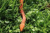 picture of jungle snake  - Albino Snake  - JPG