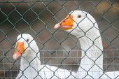picture of caged  - A close up of two white geese with orange beaks in a cage - JPG