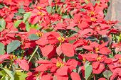 picture of poinsettia  - Colorful Poinsettia flower  - JPG