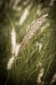 picture of fountain grass  - The close up of fountain grass Pennisetum alopecuroides - JPG