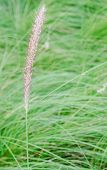 pic of fountain grass  - The close up of fountain grass Pennisetum alopecuroides - JPG