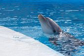 image of porpoise  - head a dolphin on background of the swimming pool water - JPG