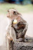 picture of baby-monkey  - Monkey mother and her baby sitting and eating corn on a floor Pagoda - JPG